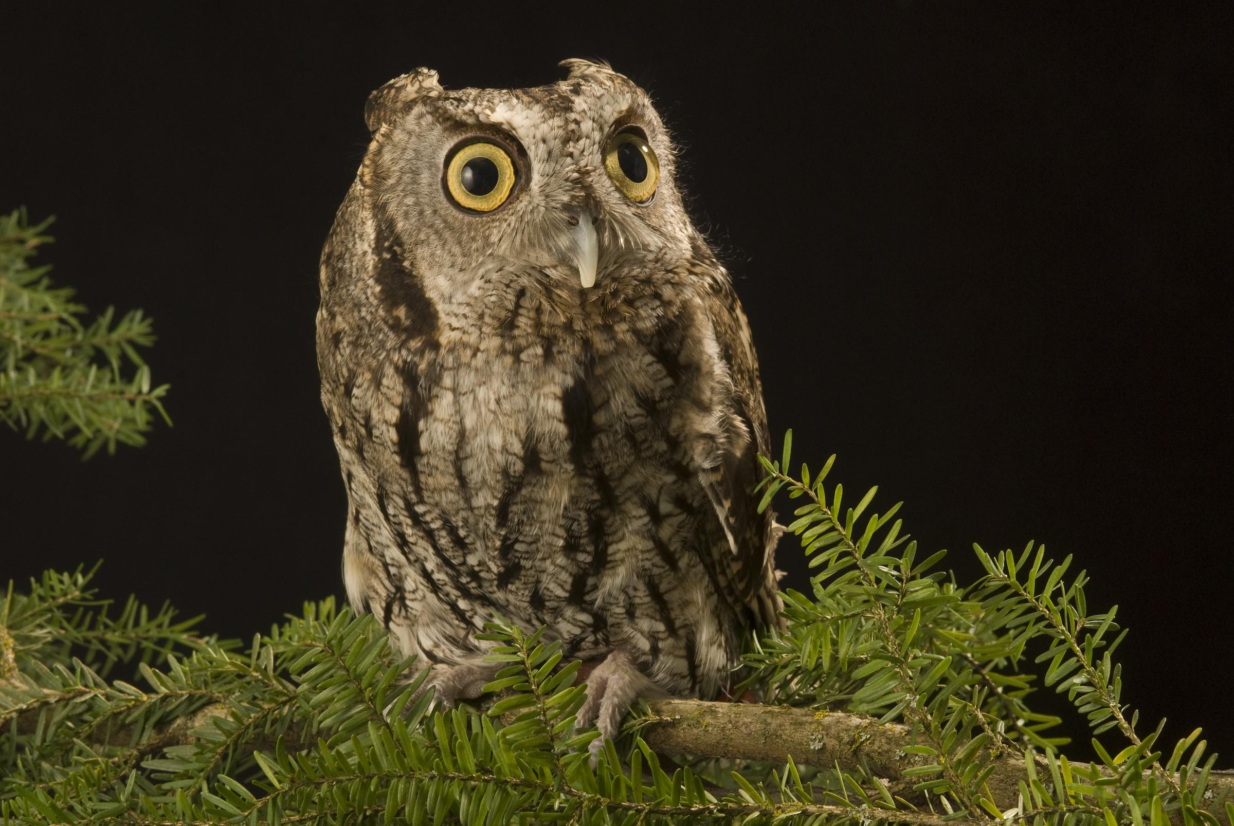 Screech owl related keywords amp suggestions screech owl long tail