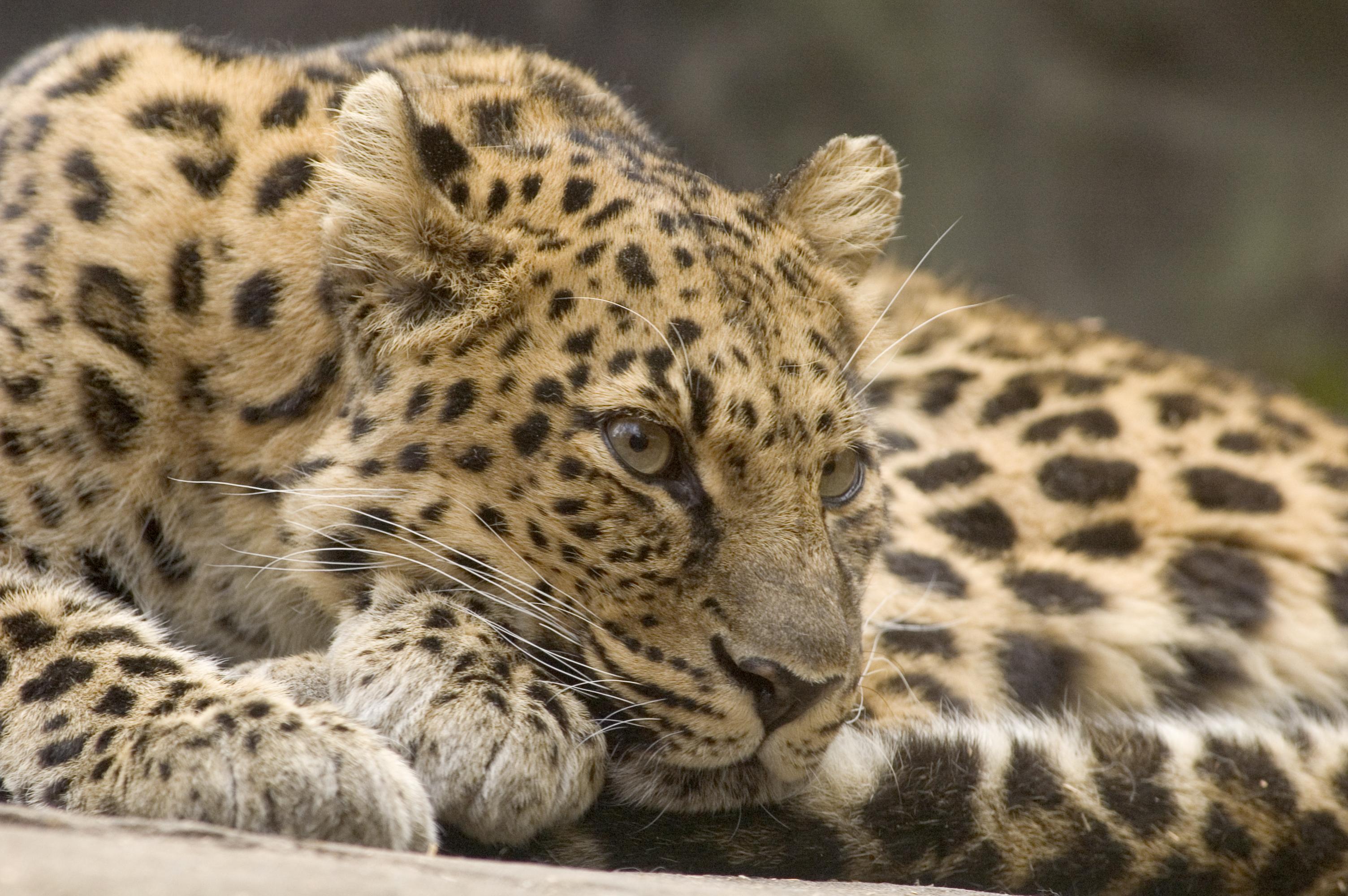 Amur Leopard Oregon Zoo
