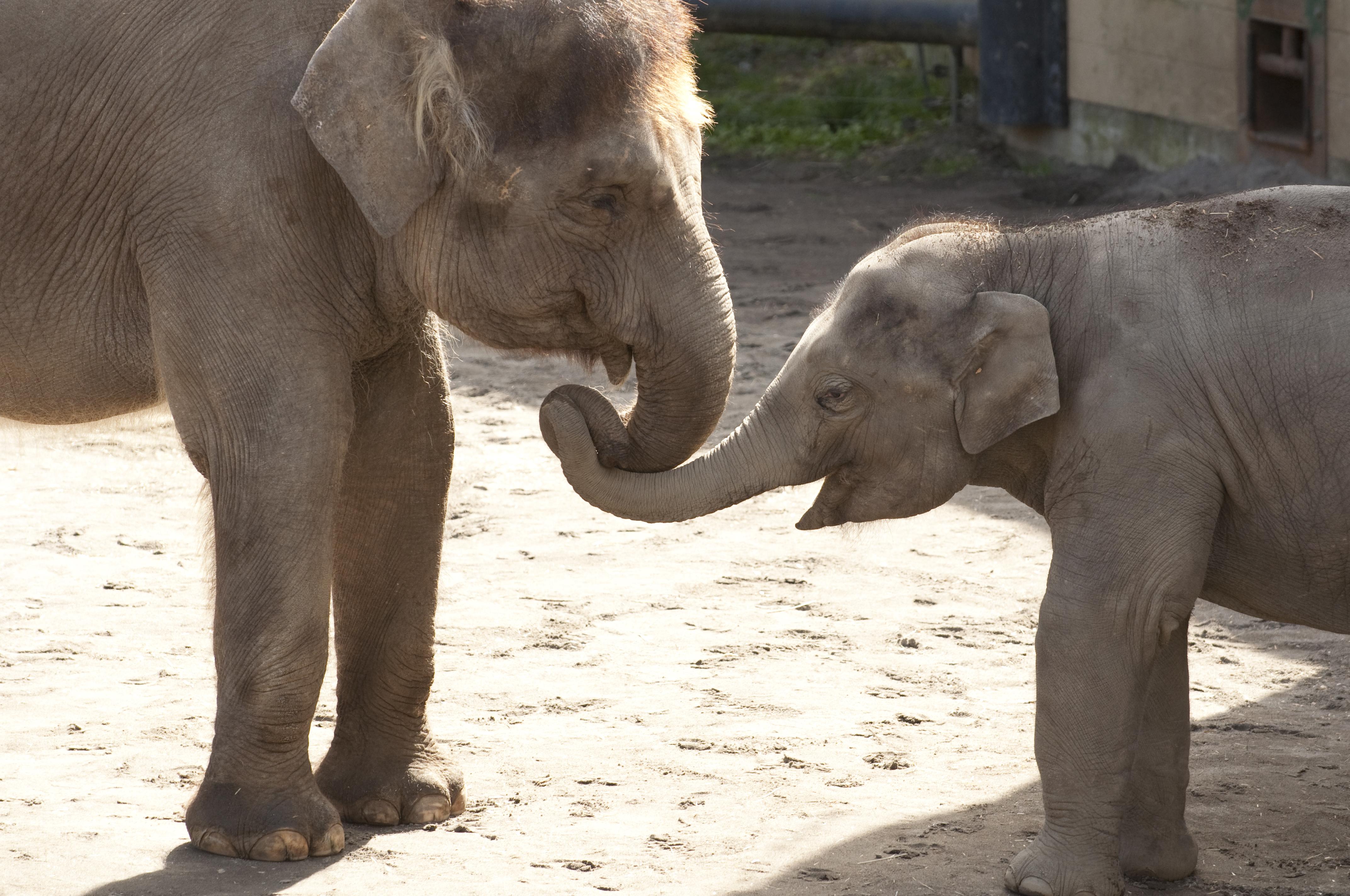 Tags: Asian Elephant