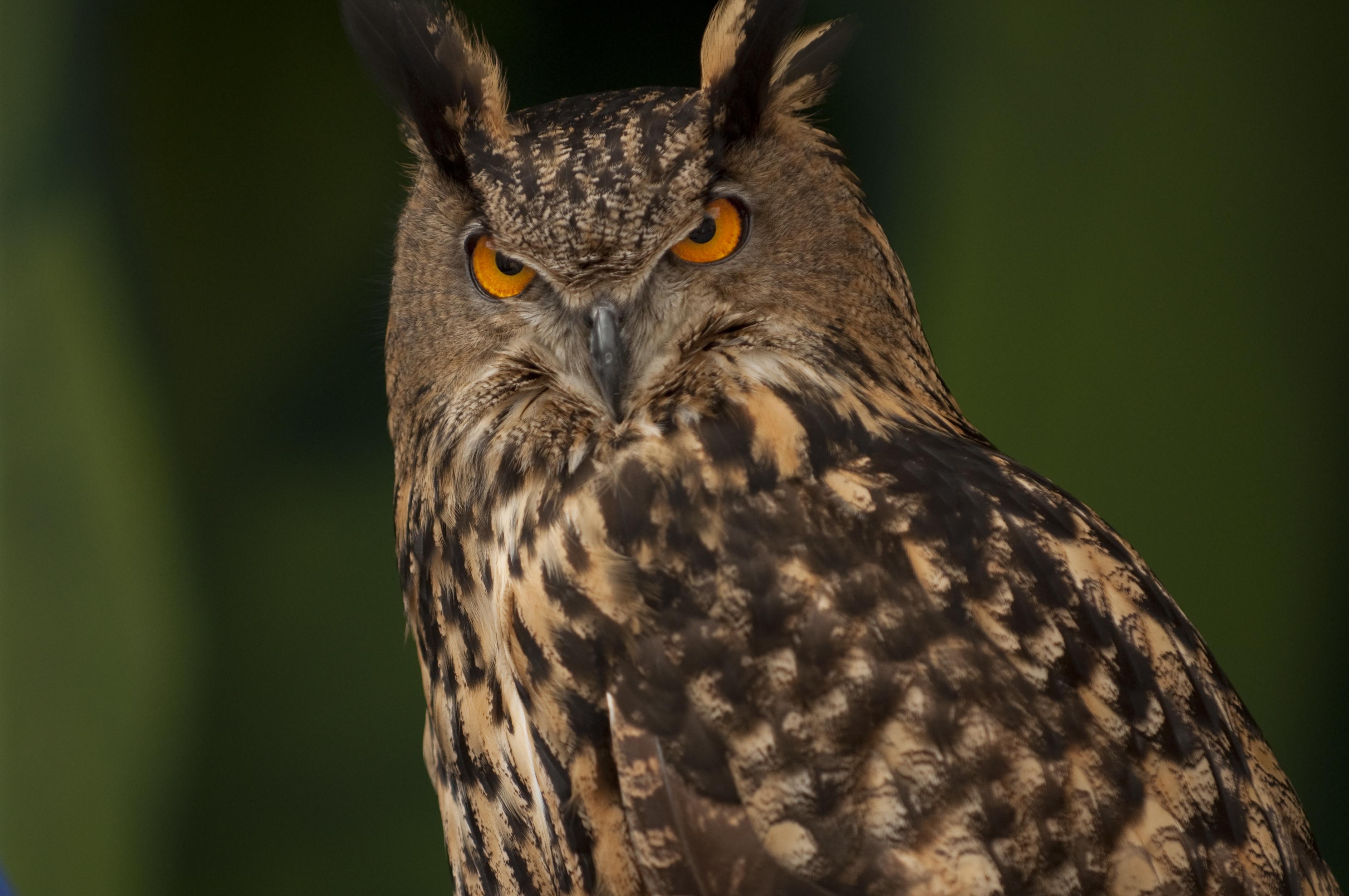 Back Yard Barred Owl -or- Why We Live in Portland, Oregon ...  Owls Portland Oregon