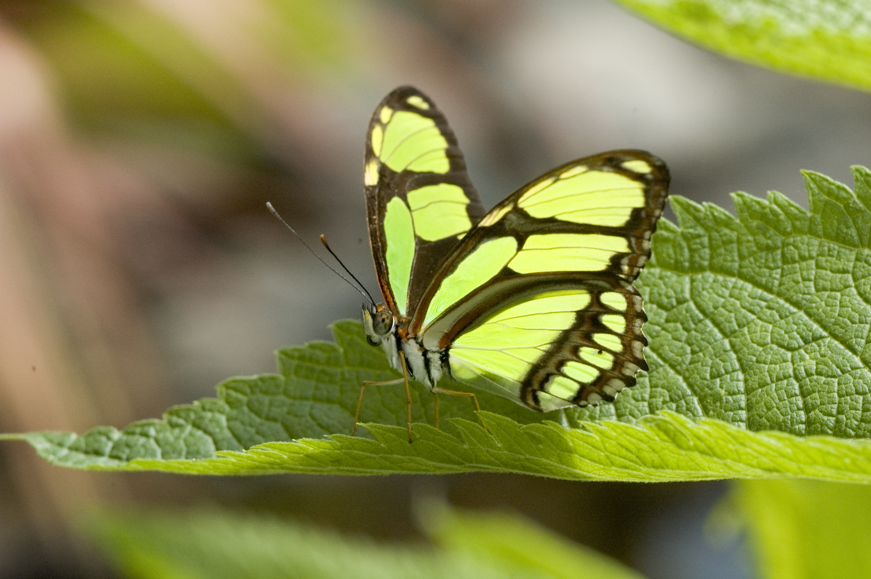 Question Mark Butterfly Malachite Butterfly Fa...