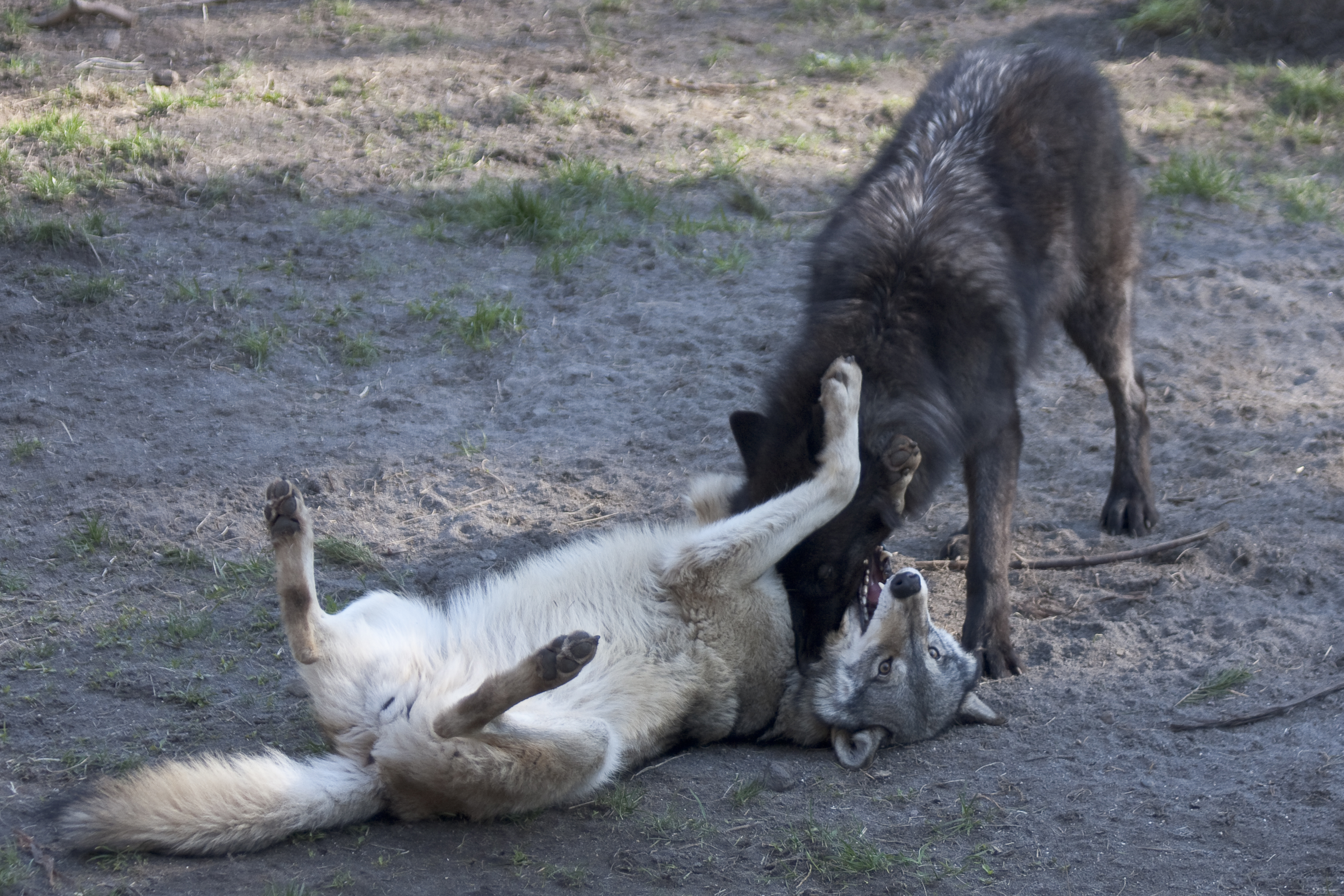 grey wolf   Oregon Zoo