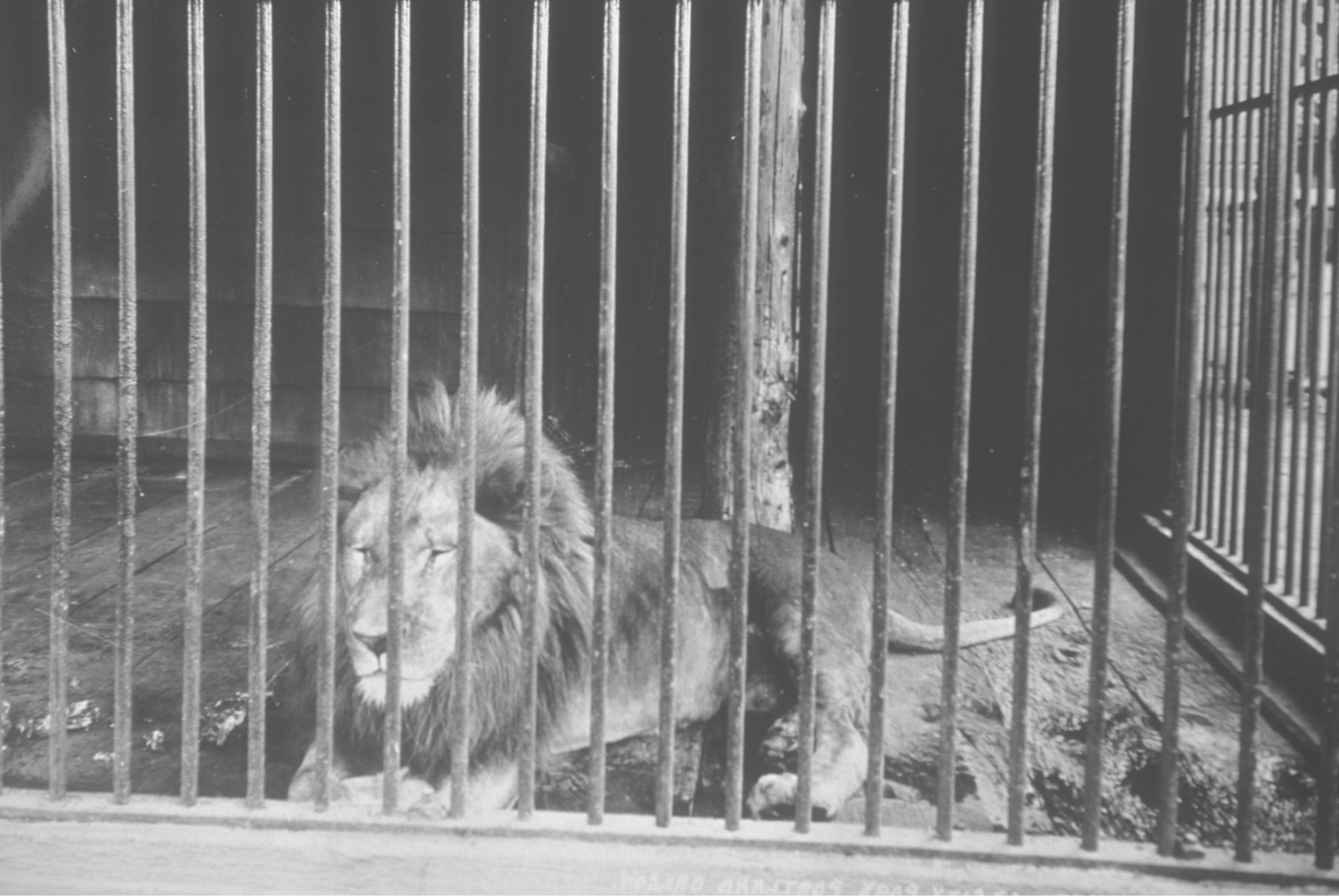 Lion Oregon Zoo