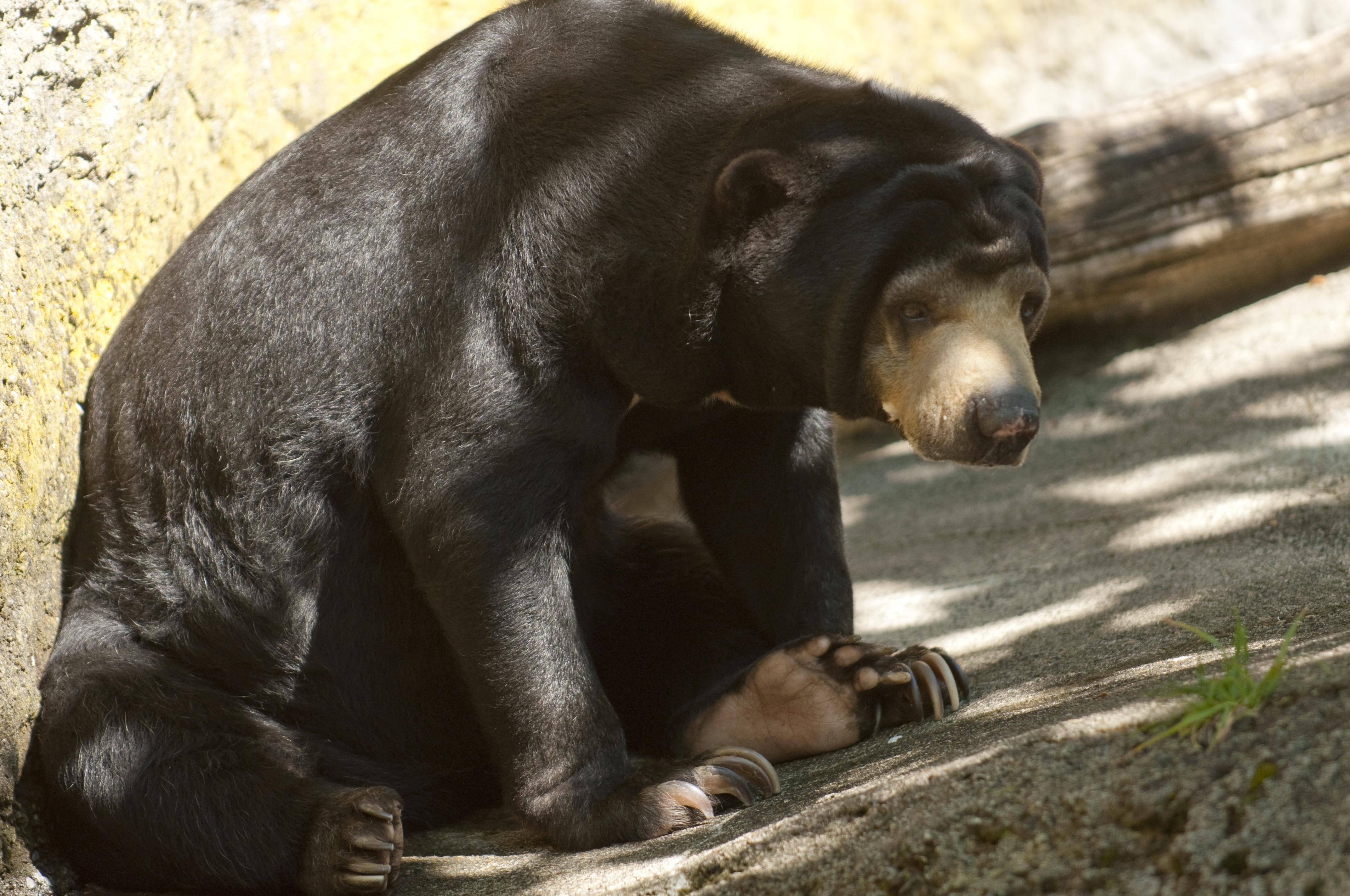 Baby Malayan Sun Bear - 6961.1KB