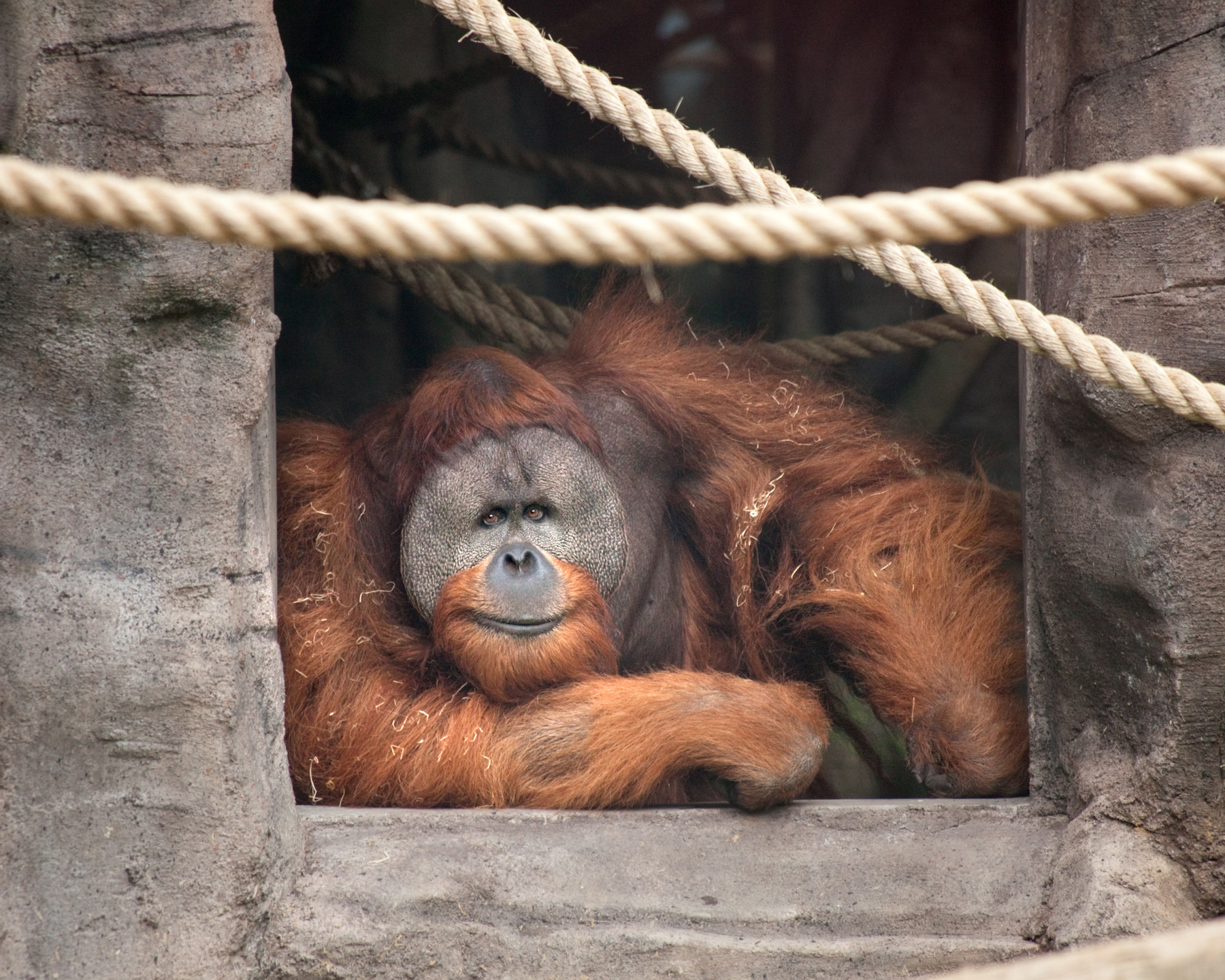 Sumatran Orangutan Oregon Zoo