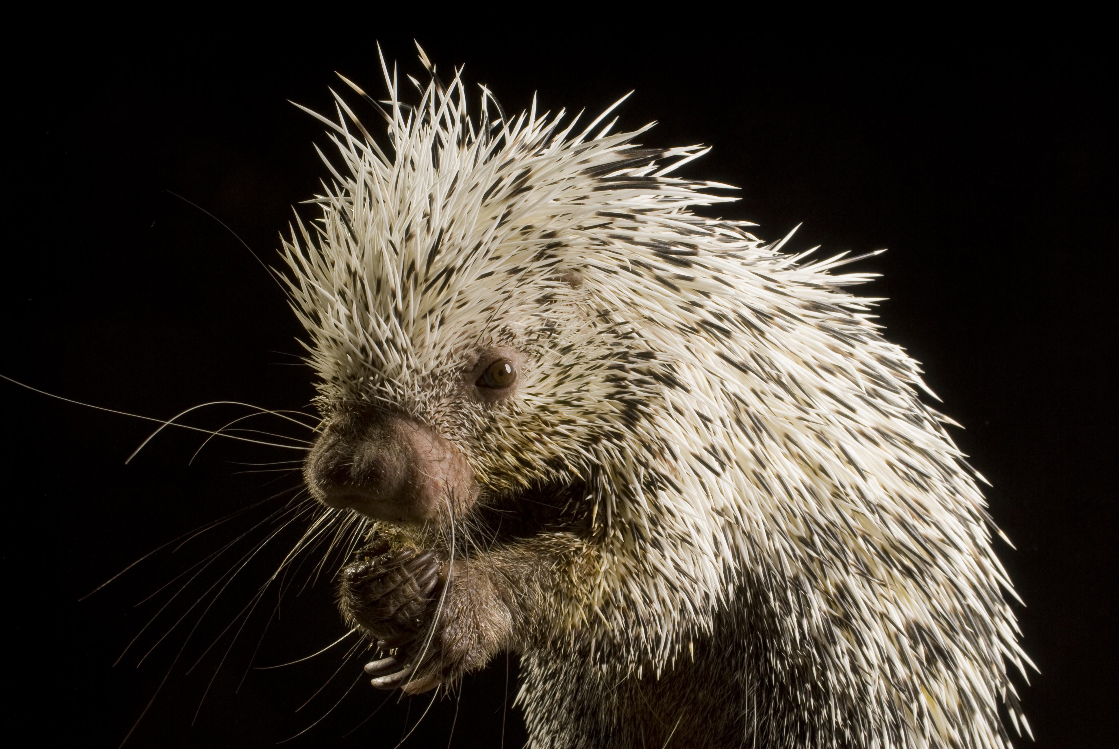 porcupine | Oregon Zoo