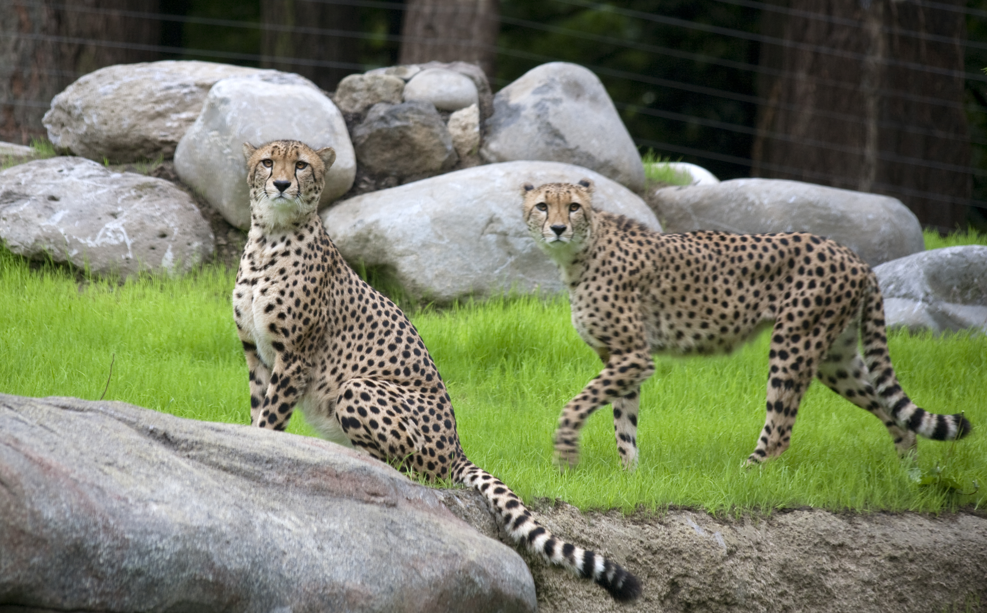 cheetahs in zoos The keeping of wild animals as pets is a growing concern the widespread use of the internet has made it easier than ever to 'order' or purchase a wild animal without clarification as to where it has come from or how it should be cared for.