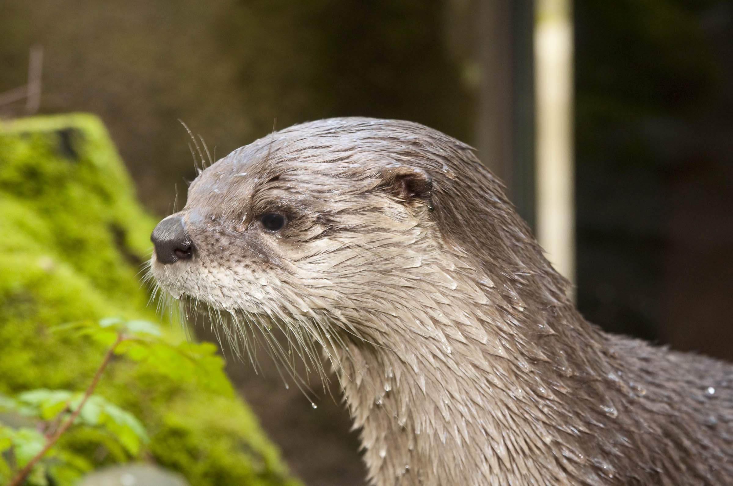 river otter Distribution the river otter (lontra canadensis) is widely distributed across north america, from florida to alaska, and this large mustelid (weasel family) occupied every major waterway of the united states and canada until at least the nineteenth century.