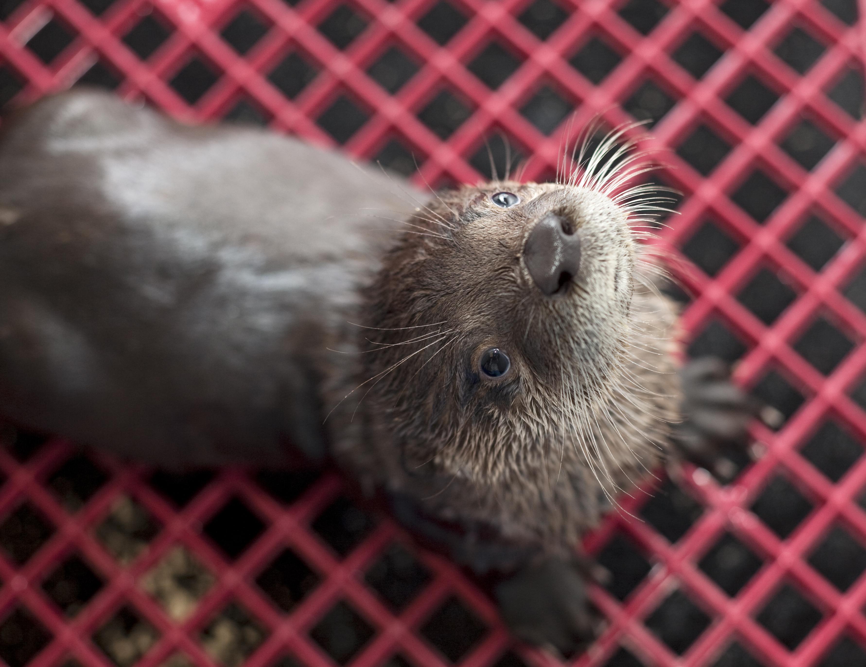 River Otter Oregon Zoo