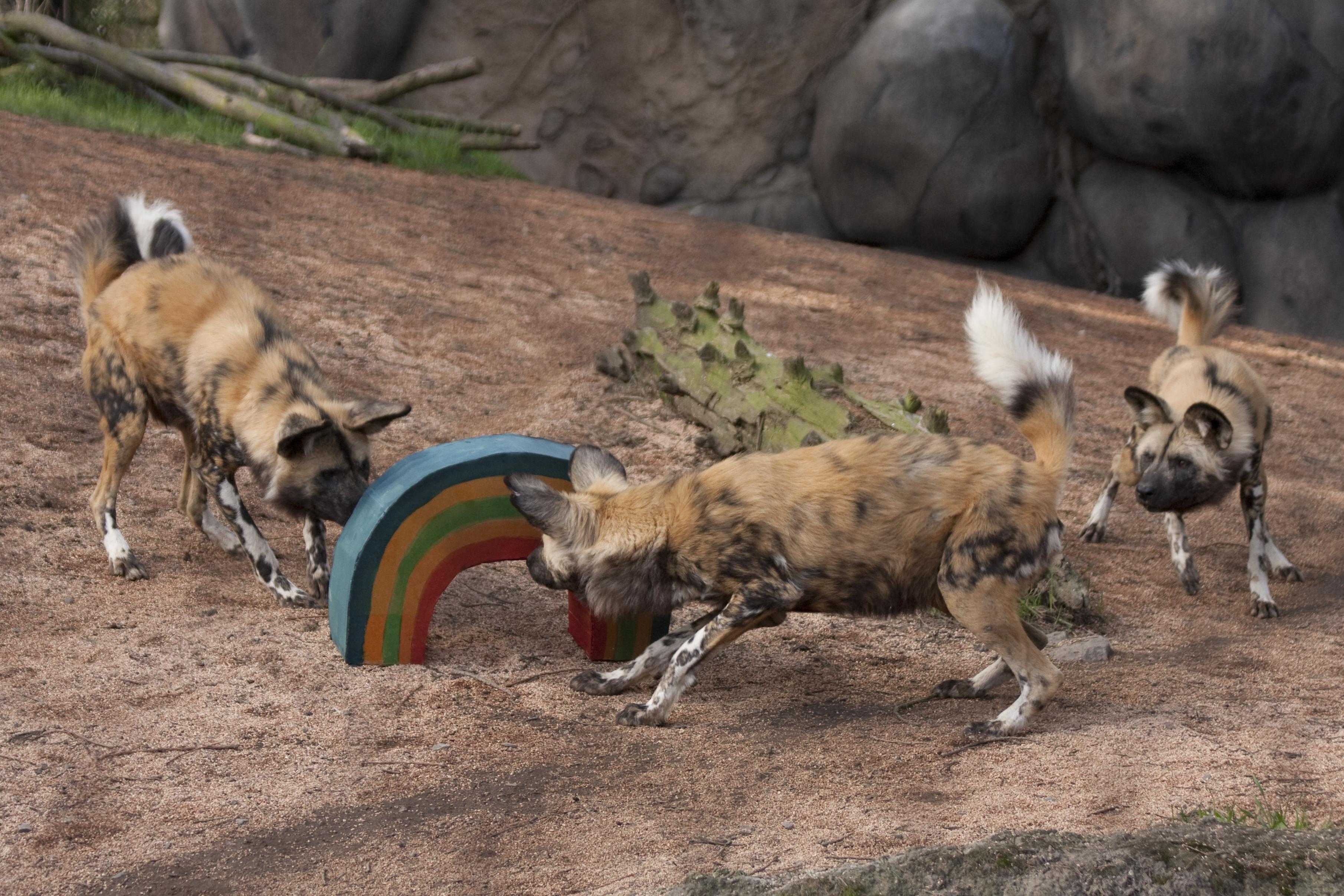 H_orig_st_patricks_rainbow_african_wild_dogs_gal.jpg
