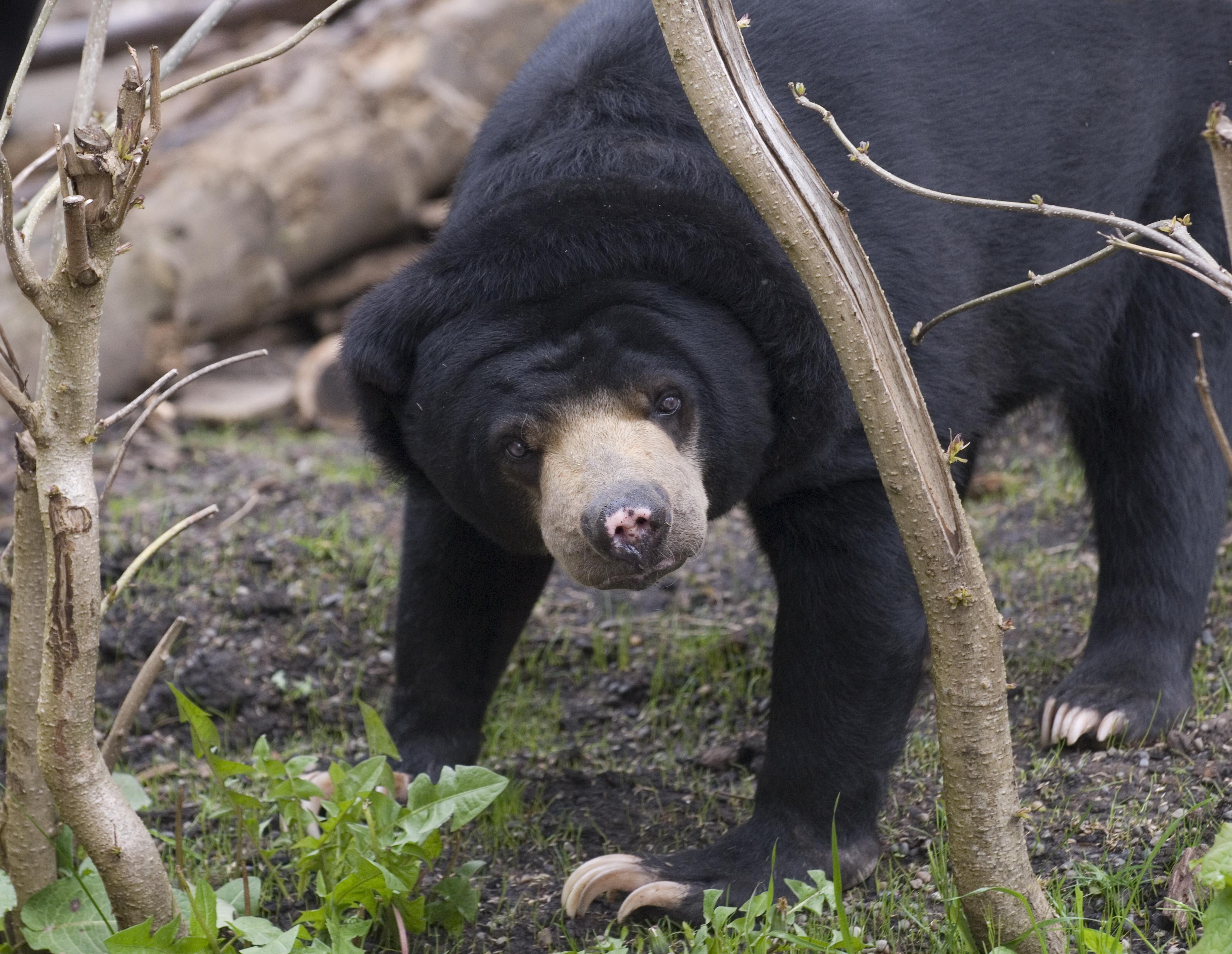 Malayan Sun Bear Oregon Zoo