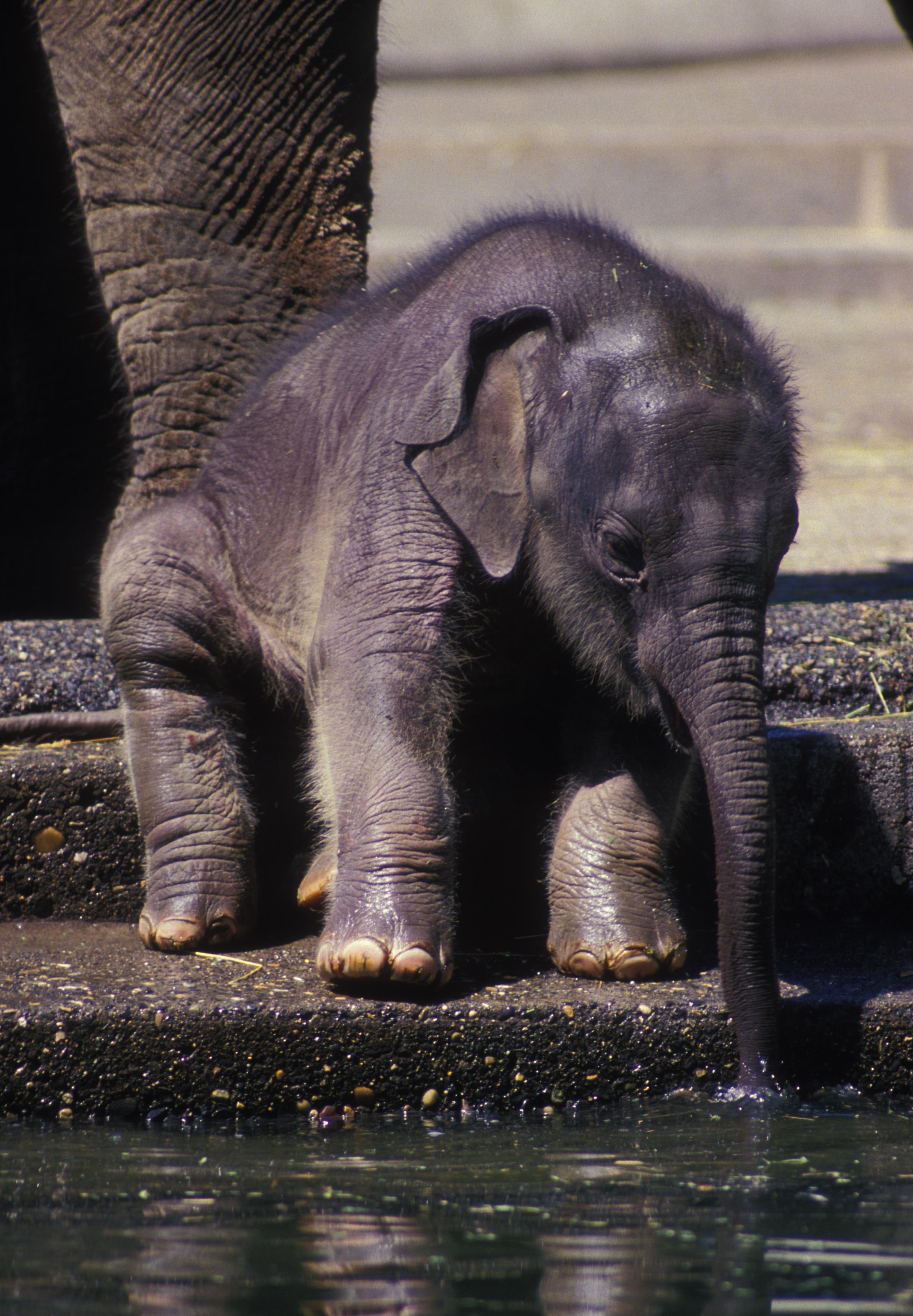 Asian elephant oregon zoo - Babyzimmer elefant ...