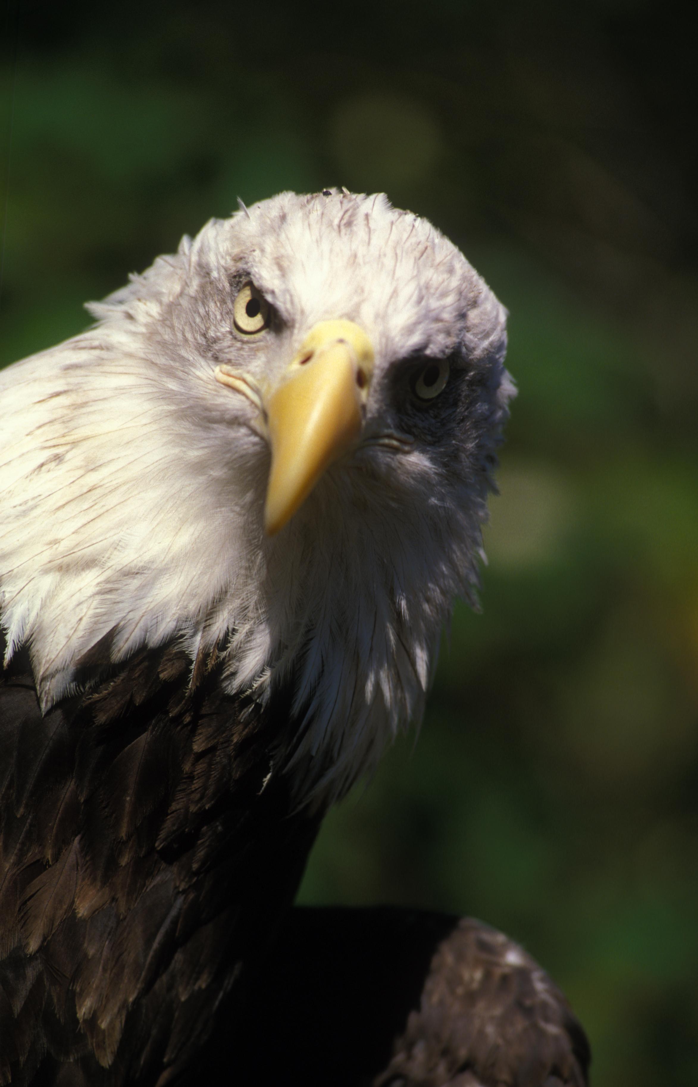bald eagle | Oregon Zo...