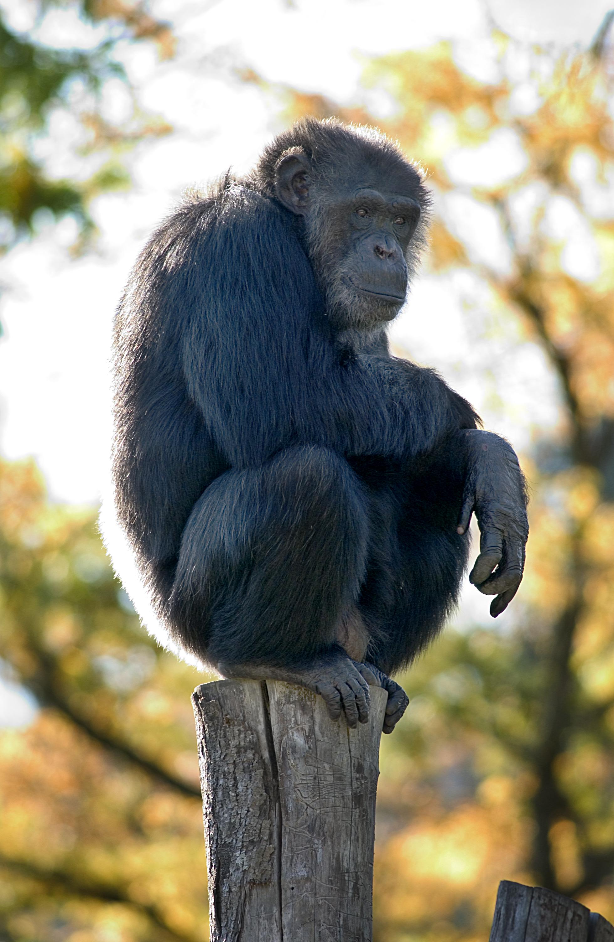 Chimpanzee Oregon Zoo