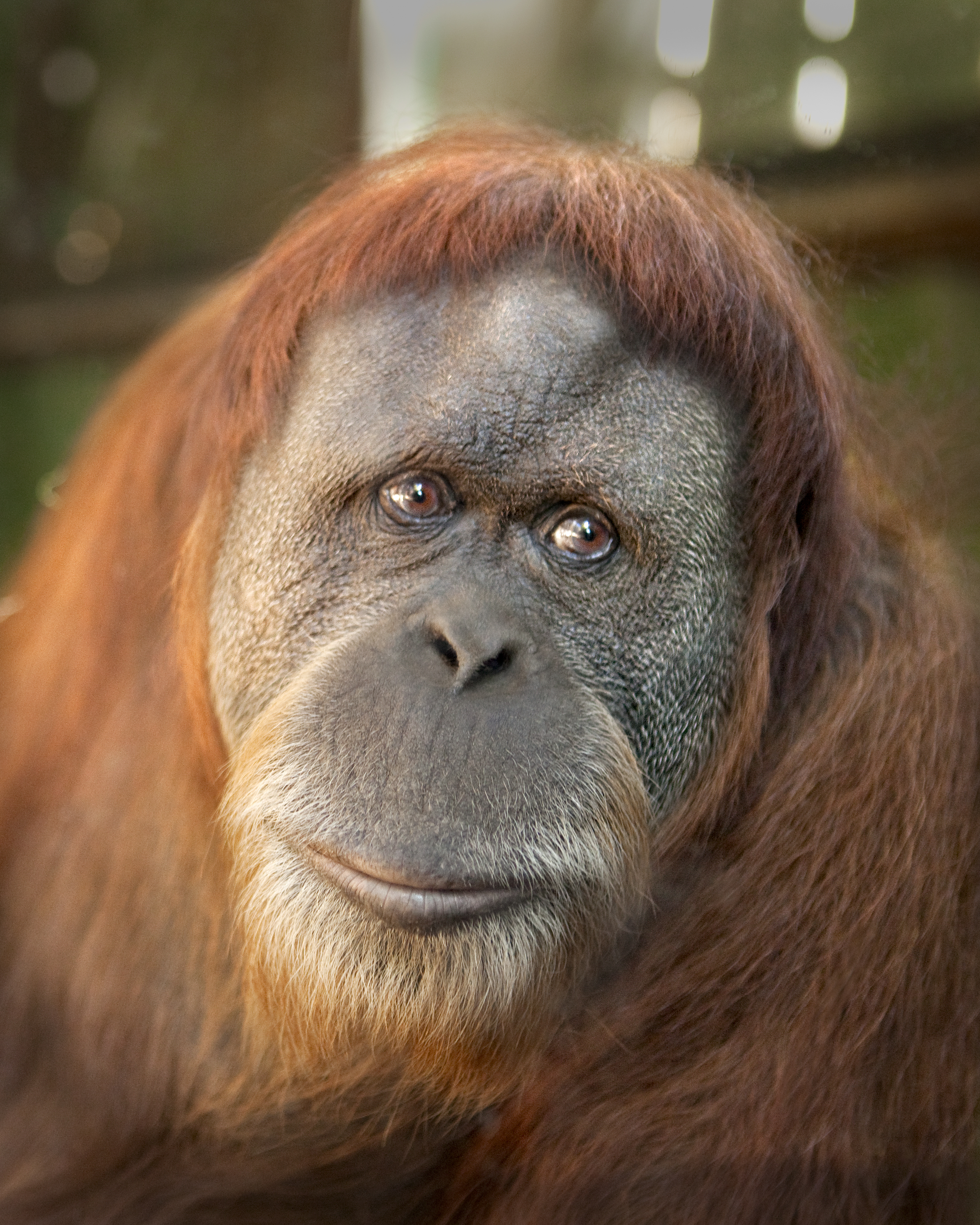 sumatran orangutan The sumatran orangutan genome was sequenced in january 2011 following humans and chimpanzees, the sumatran orangutan became the third species of hominid to have its genome sequenced.
