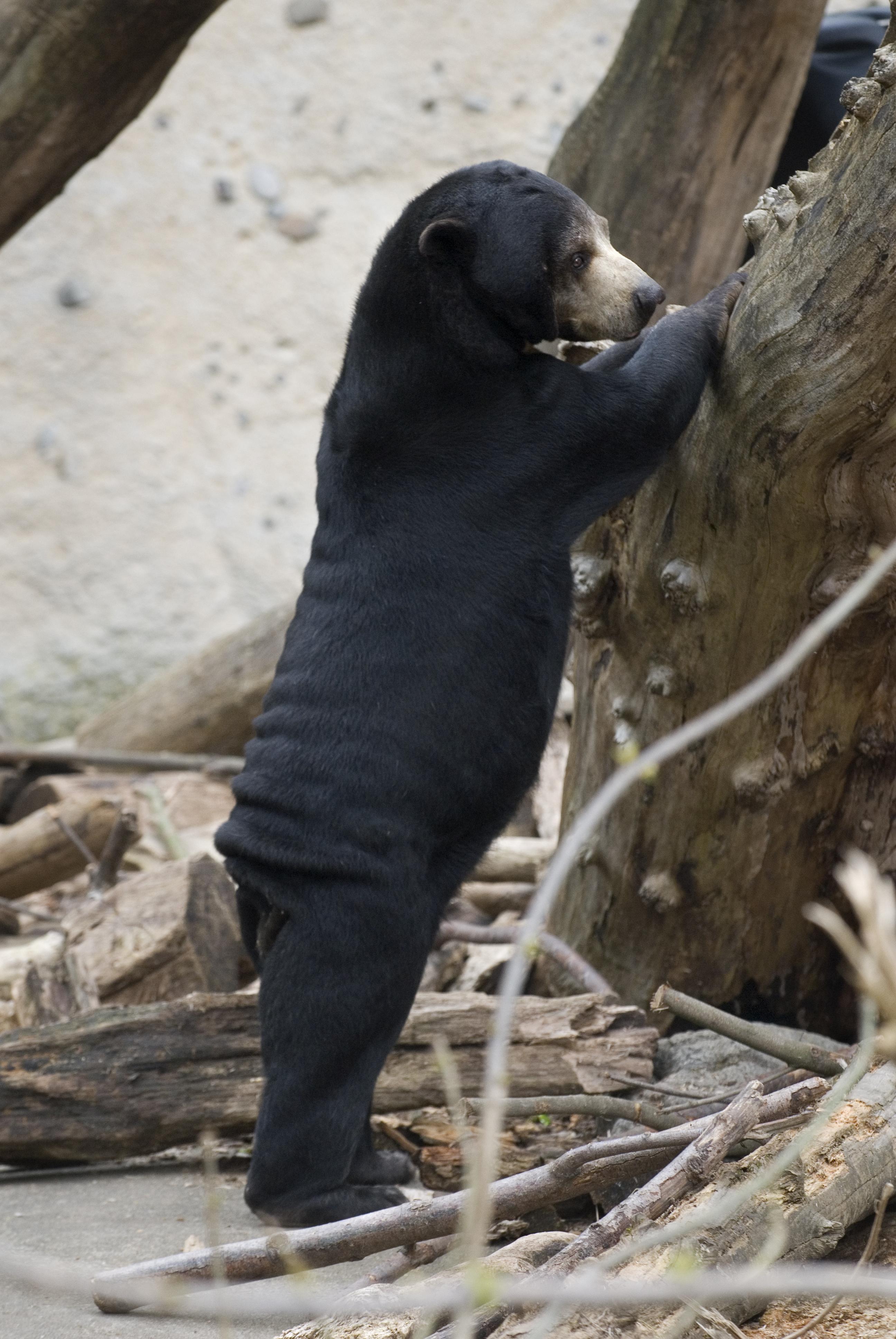 Bald bear in the zoo