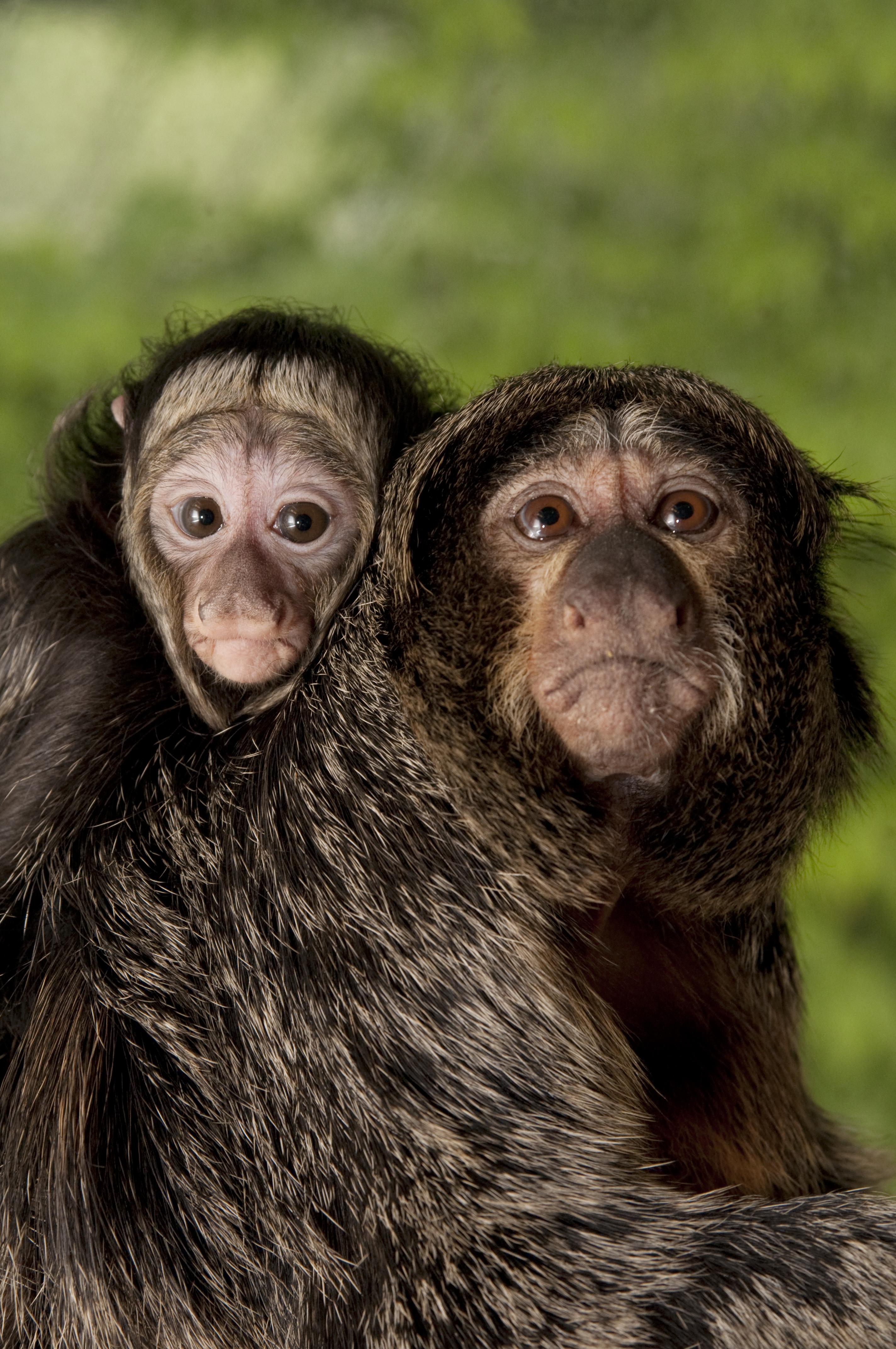 Saki Monkey Oregon Zoo