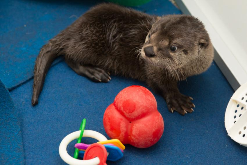 Meet Little Pudding: Baby river otter gets a name | Oregon Zoo