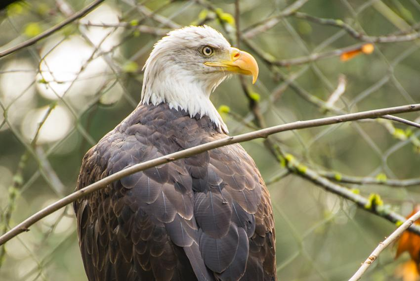 One-eyed, lead-poisoned eagle finds home at Oregon Zoo | Oregon Zoo