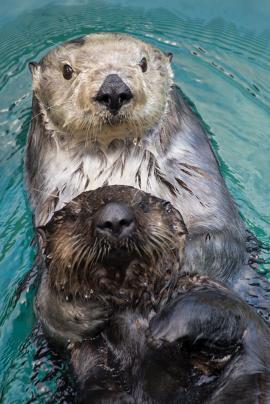 southern sea otter oregon zoo