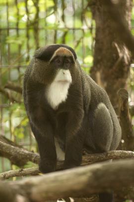 De Brazza's monkey | Oregon Zoo