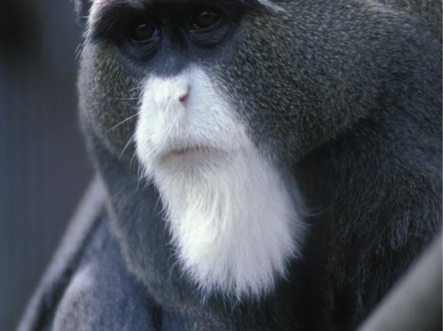 Beardy Monkey: De Brazza's Monkey