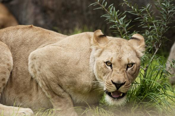 Neka, a female African lion, lays low at the Oregon Zoo. | Oregon Zoo