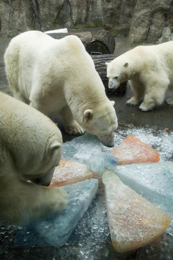 Polar Bears Enjoy A Special Thanksgiving Ice Treat Shaped