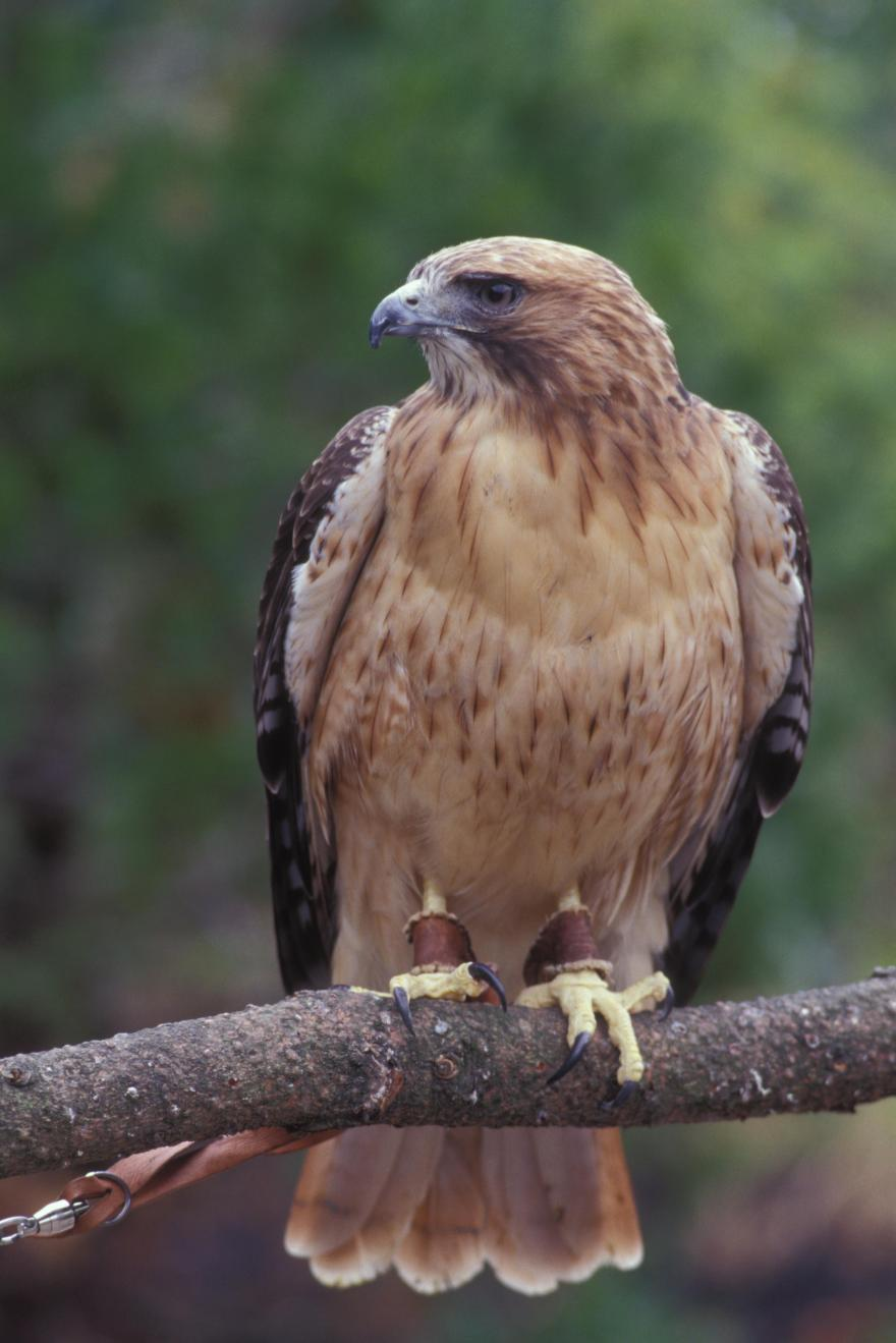 Red tailed hawk oregon zoo - Red tailed hawk wallpaper ...