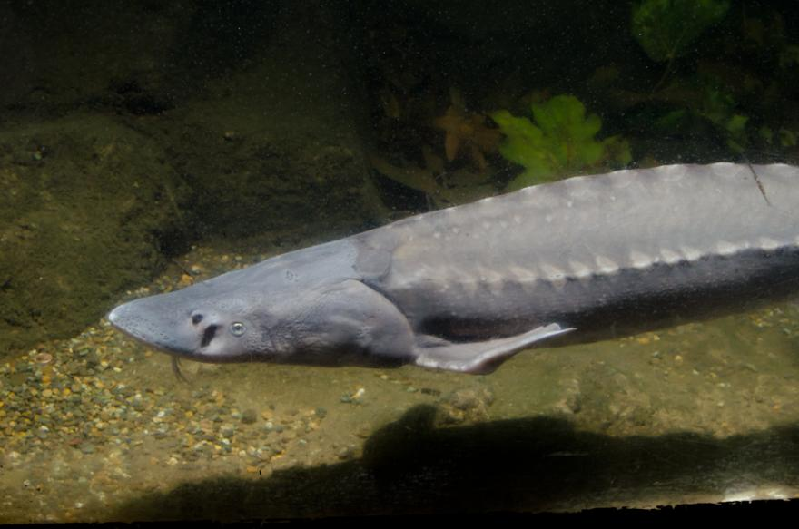 white sturgeon oregon zoo