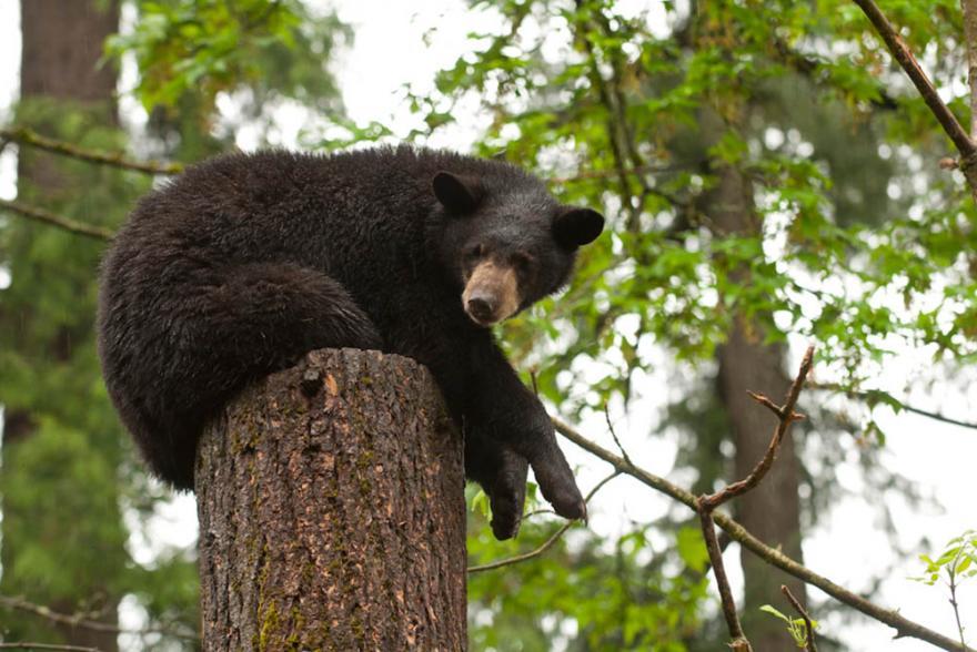 American Black Bear Oregon Zoo - Us-black-bear-population-map