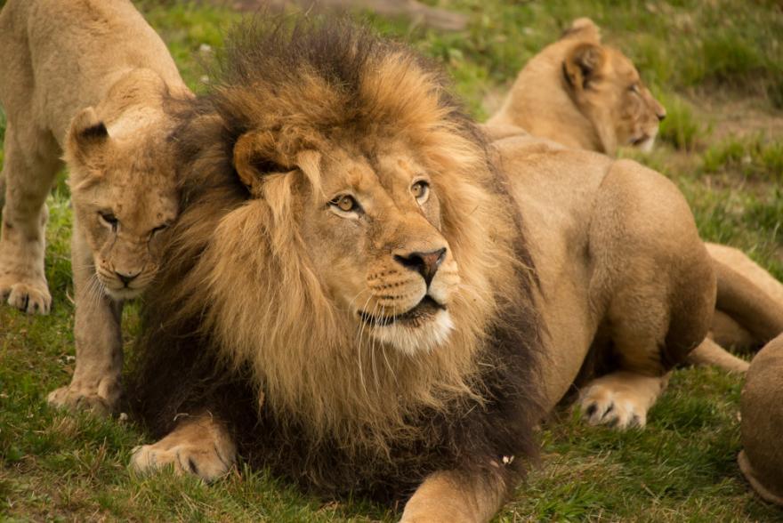 Lion | Oregon Zoo