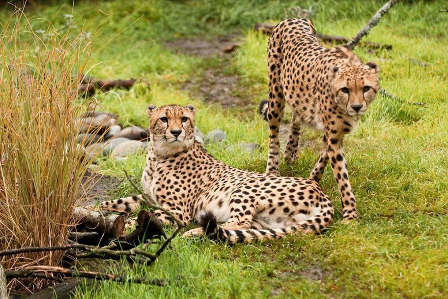 cheetah oregon zoo