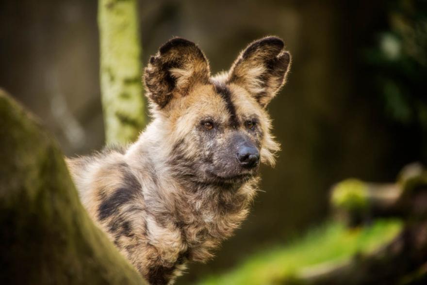 African wild dog | Oregon Zoo