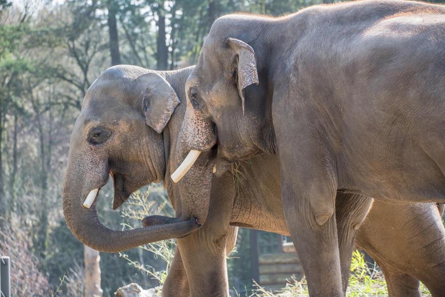 Asian Elephant Oregon Zoo
