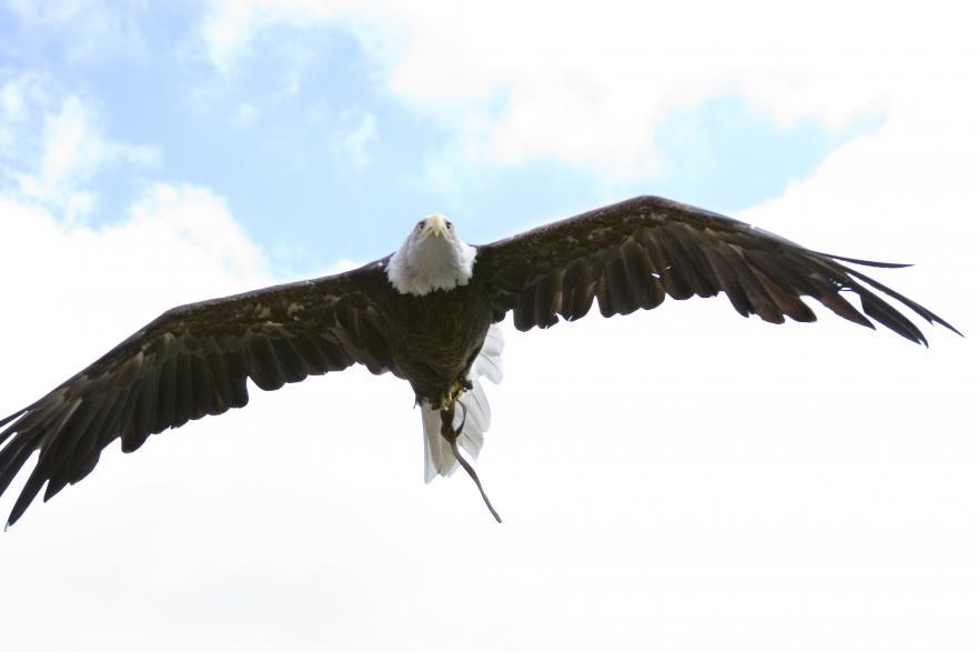 Bald Eagle Oregon Zoo