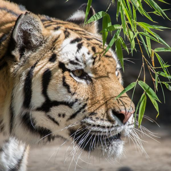 East asian tigers