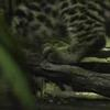 Ocelot kitten explores exhibit