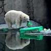 Polar bears celebrate St. Patrick's Day