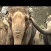 Asian elephant: Intersections at the Oregon Zoo