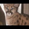 Orphaned cougar cub rescued