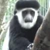Delu the baby colobus monkey