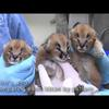 Caracal kittens at the Oregon Zoo