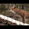 Cougar cub Palus: One year
