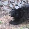 Black bears return