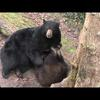 "Black bear Cubby ""Father of the Year"""
