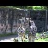 Reticulated giraffes Bakari and Riley meet for the first time.
