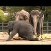 Elephants squish giant pumpkins
