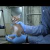 Caracal kittens at five weeks: Growing fast