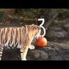 Tiger birthdays on Halloween